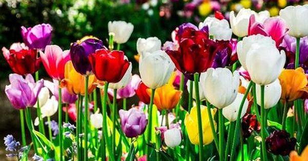 Hasil Gambar Untuk Bunga Tulip Tulips Plants