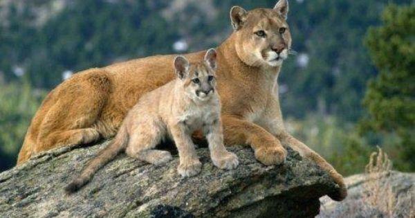 Puma Y Cria Mountain Lion Animals Wild Animals Beautiful