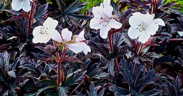 Bodziszek Lakowy Purple Ghost Geranium Pratense Albamar Geranium Pratense Geraniums Hardy Geranium