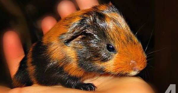 Pin On Guinea Pigs And Diy Cages