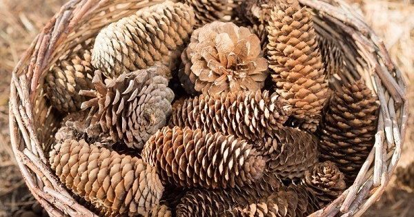 17 fun things to make with pine cones pine cones for Things to make with fir cones