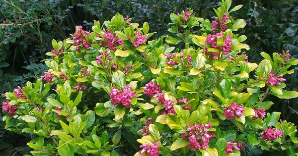 Dwarf Escallonia Evergreen With Pink Flowers Apple