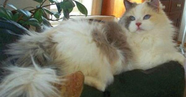 Toodles Blue Torti Bicolor Ragdoll Ragdoll Cat Cat Love