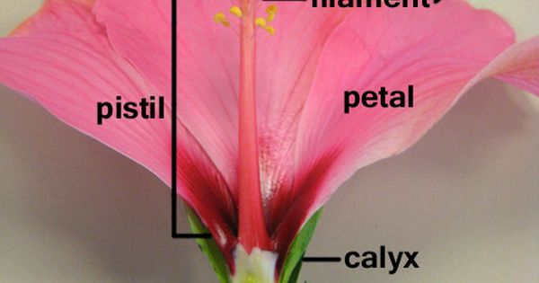 parts of a flower - hibiscus   Cycle 1 Classical ...