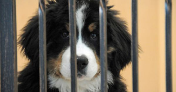 Berner Pup In Jail Bernese Mountain Puppy Bernese Mountain Dog Cute Dogs