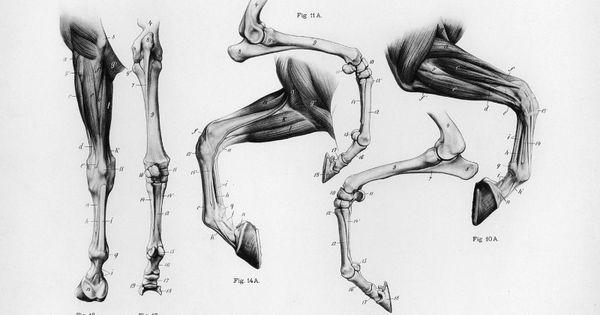Horse Anatomy By Herman Dittrich Hind Legs: Horse Anatomy By Herman Dittrich – Front Legs