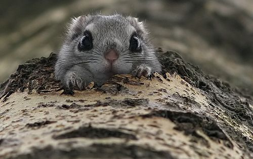 Japanese dwarf flying squirrel animals