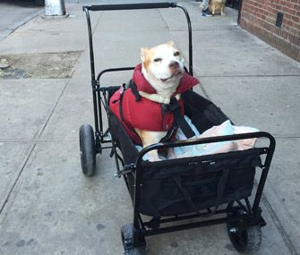 How Wagons And Strollers Can Help Your Mobility Impaired Pet Dog