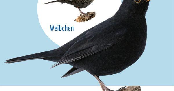 Ursprunglich Ein Scheuer Waldvogel Heute Ein Beliebter