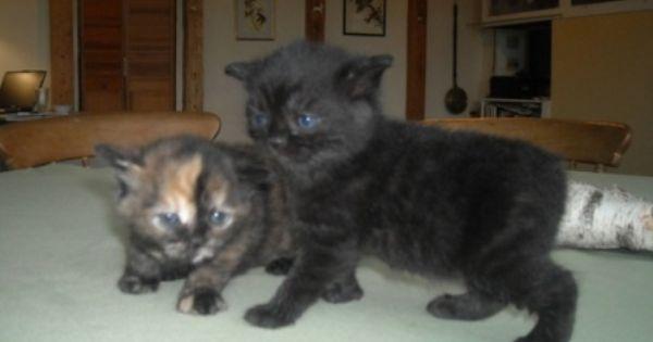 Manx Kittens Kittens Manx Kittens Manx Cat