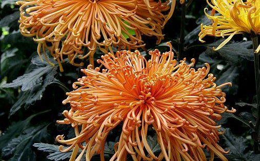 spider chrysanthemum plants for sale chrysanthemums pinterest chrysanthemums plants and. Black Bedroom Furniture Sets. Home Design Ideas