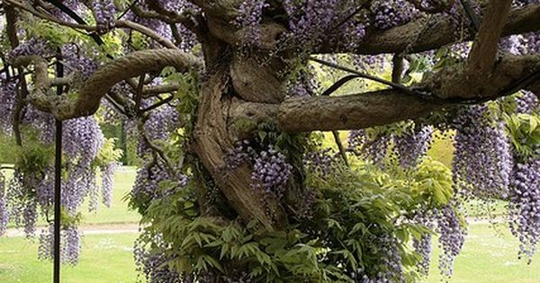 This Wisteria Tree is as complicated as my family tree … and