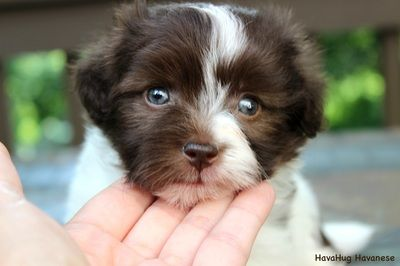Beautiful Chocolate Parti Havanese Puppy 3 Baby Blue Eyes 3 Www