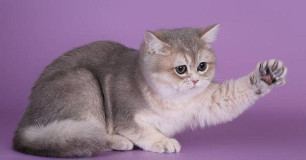 Chingis Khan Of Britain Yard Lv Blue Golden Shaded British Shorthair British Shorthair Cats British Shorthair Cat Love