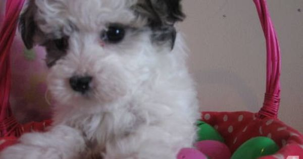 Bichon Maltese Mix Female Pup Stay Small Non Shed