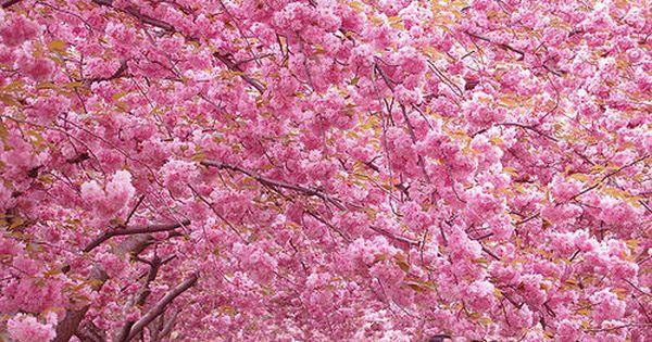 Sena Swift Senaswift On Imgfave Cherry Blossom Festival Japan Cherry Blossom Season Cherry Blossom Images