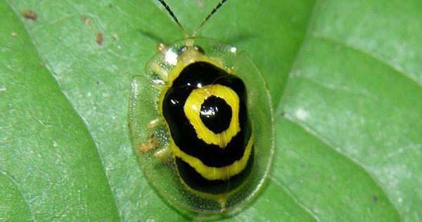 Target Beetle (Ischnocodia annulus) Panama