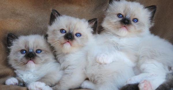 Available Ragdoll Kittens Ragdolls Kittens For Sale Ohio Ragdoll Kitten Cute Cats And Kittens Ragdoll Kittens For Sale