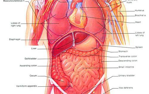 Anatomy left side under ribs