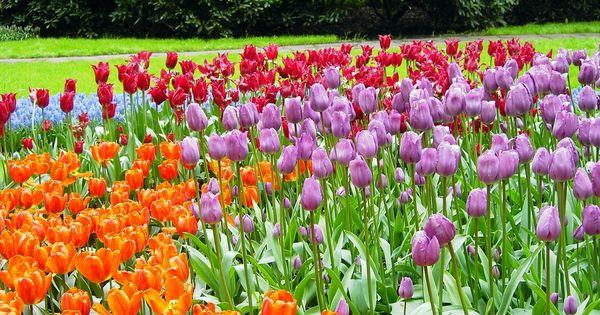 Ya es primavera los famosos campos de tulipanes de holanda plantas flores terrazas - Jardines de tulipanes en holanda ...