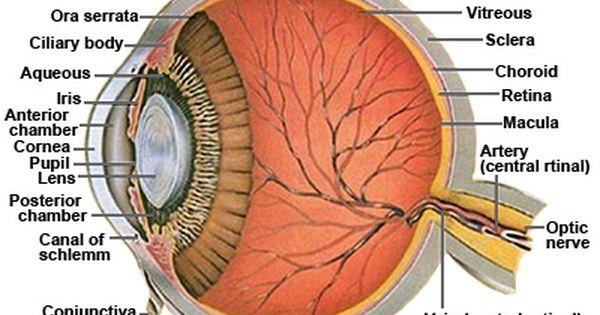 Drawing the Human Eye