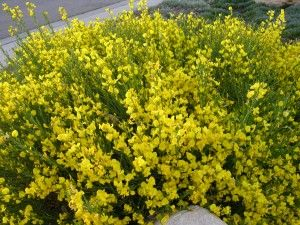 Spanish Gold Broom Plants Broom Plant Xeriscape