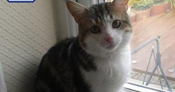 Tango Domestic Shorthair Crossbreed Cat 3 Years Rspca Walsall