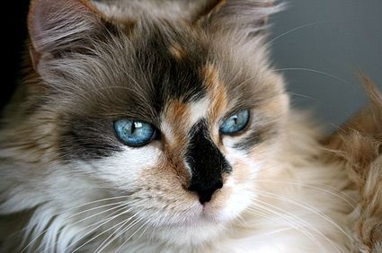 You Can T Stop Cat Shedding But You Can Handle The Hair Calico