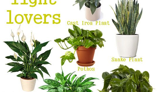 low light loving houseplants perfect for a small apartment with little natural light. Black Bedroom Furniture Sets. Home Design Ideas