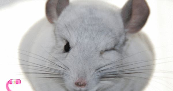Chinchilla Chinchilla Cute Chinchilla Pet Cute Baby Animals