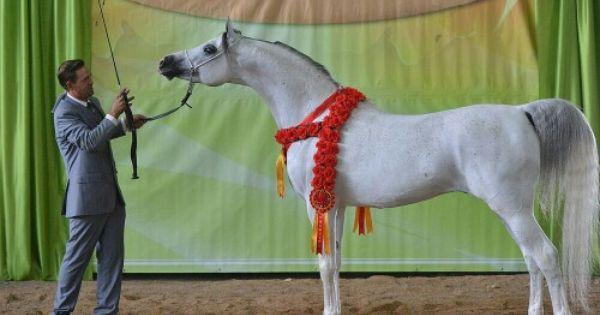 South African Champion Stallion 2015 Rasheeq Majeed Horses Beautiful Horses Arabians
