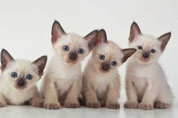 Facts About Siamese Cats 15 Siamese Cat Facts You Might Not Know Siamese Cats Facts Cat Facts Siamese Cats Blue Point
