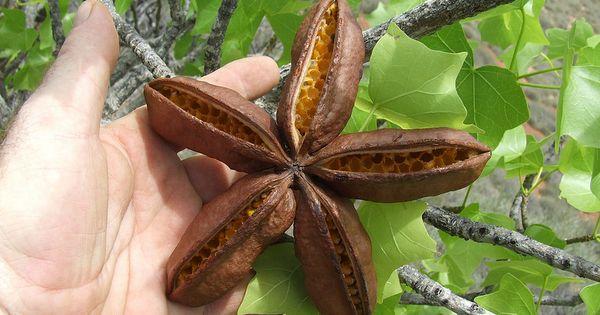 Malvaceae Brachychiton Obtusilobus Kurrajong Seed Pods Dscf3487