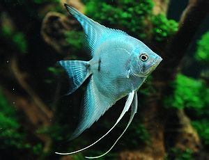 Blue Angelfish Always Wanted To Try Some Angelfish But They Do Grow Fairly Large Vertically And Are Known To Be Pet Fish Aquarium Fish Tank Aquarium Fish