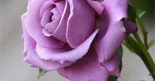 Sterling Silver rose. My absolute favorite rose. Lavender roses have the sweetest