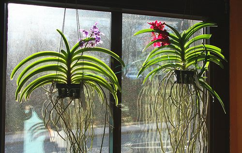 orchids in a window vanda orchideen green house. Black Bedroom Furniture Sets. Home Design Ideas