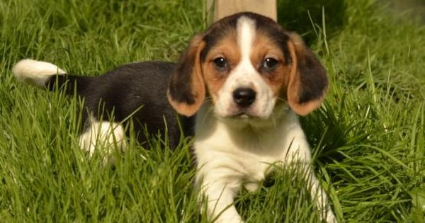 Lily Beagle Puppy For Sale In Fresno Oh Lancaster Puppies