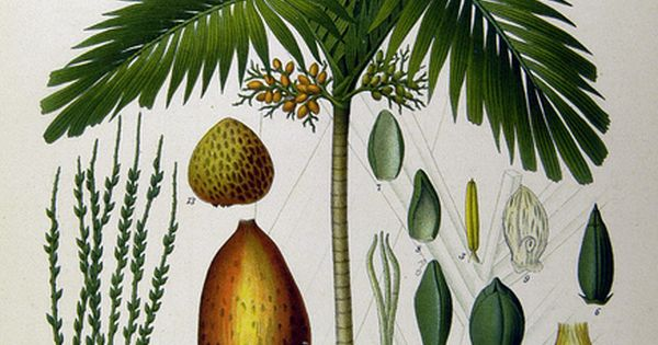 Life Cycle Of A Palm Tree Beach Shack Pinterest Palm