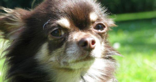 Chihuahua Deckrude In Schoko Tan Mit Zuchttauglichkeit Chihuahua Decken Schoko