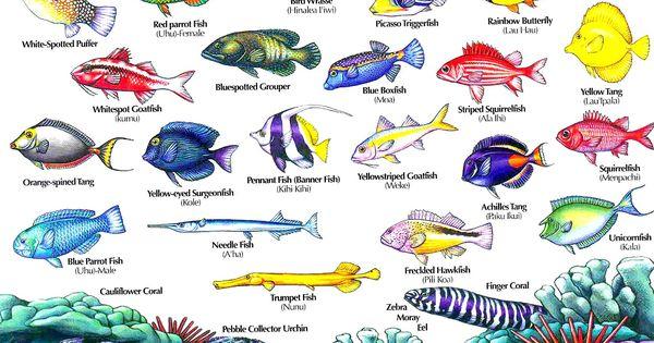 Hawaii reef fish guide with hawaiian names 2 aloha joe for Hawaiian fish names and pictures