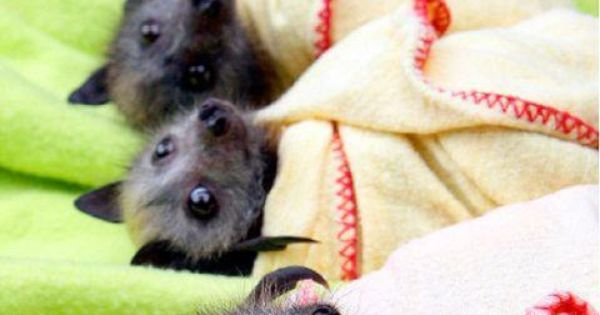SO cute! Baby Bat Burritos!