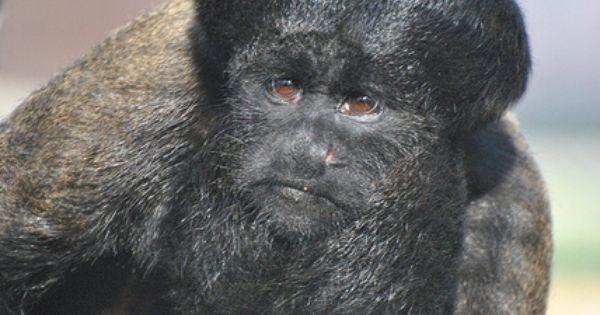 Bearded Monkey Name: Red-backed Bearded Saki (2