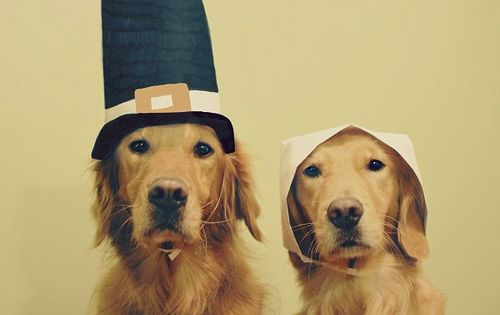 Happy Thanksgiving Everyone!!! These sweet golden retrievers dressed as pilgrims are cute
