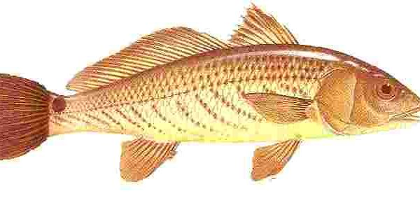 Red drum and redfish habitat bait and fishing tackle used for Saltwater drum fish