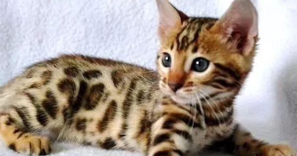 Gato Bengal Filhotes Disponiveis Femeas E Machos Gatos Gato