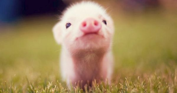 Teacup Pig! I love piggies; they're so smart! They're actually easier to