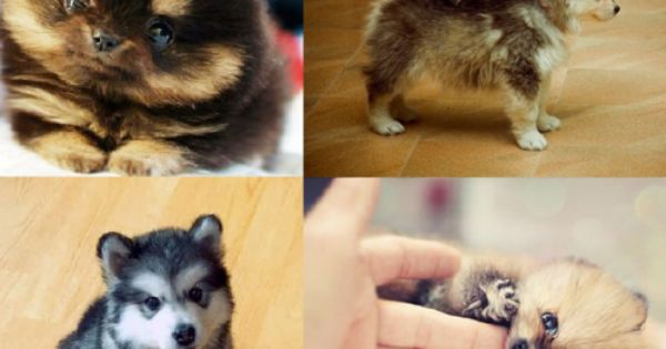 Pomsky's. I am interested in this designer breed. If I ever find