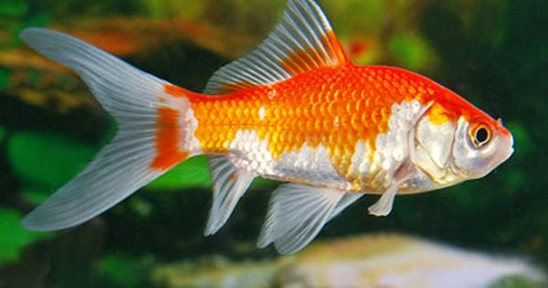 Feeder Goldfish Calico Exotic Goldfish Come In All Colors And Are Named By Their Body Shape
