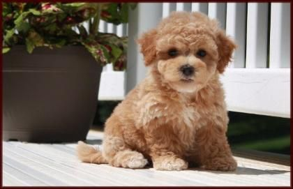 Poochon Bichon Poodle Puppies For Sale Nursery 3 Iowa Teddy