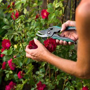 Jp Summer Care Advice Pruning Roses Planting Flowers Epsom Salt Garden